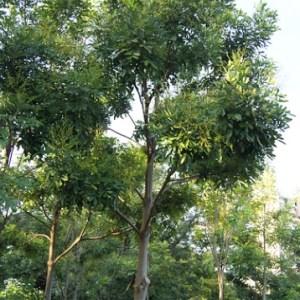 Simarouba glauca (Paradise tree)