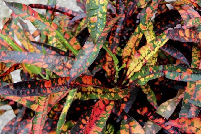 codiaeum-variegatum-croton-red-spot