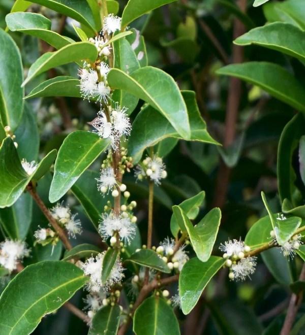 eugenia axillaris - white stoper leaves_flowers