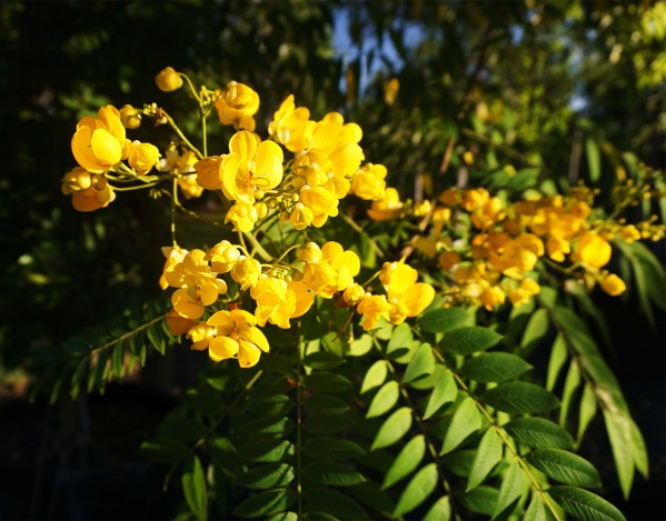 flower Peltophorum Dubium also known as Yellow Poinciana