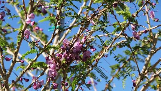 Flower Poitea Florida (Wattapama)