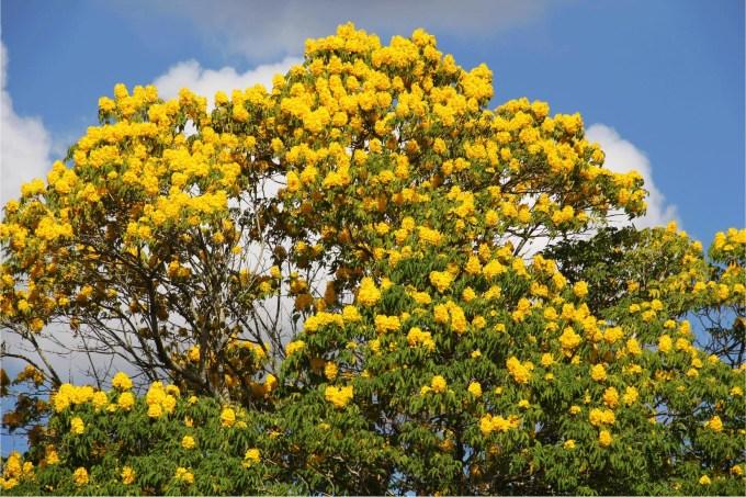 flower-tabebuia-donnell-smithii-primavera-tree