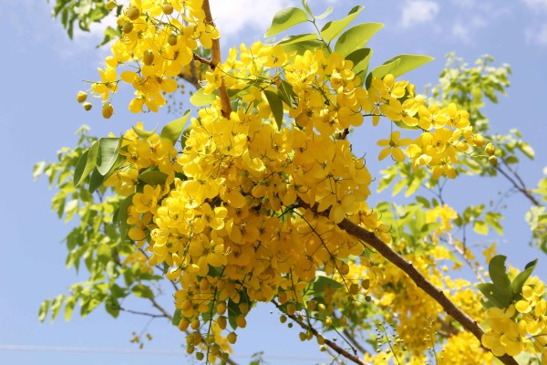 flower cassia fistula also known as Golden Shower Tree at TreeWorld Wholesale