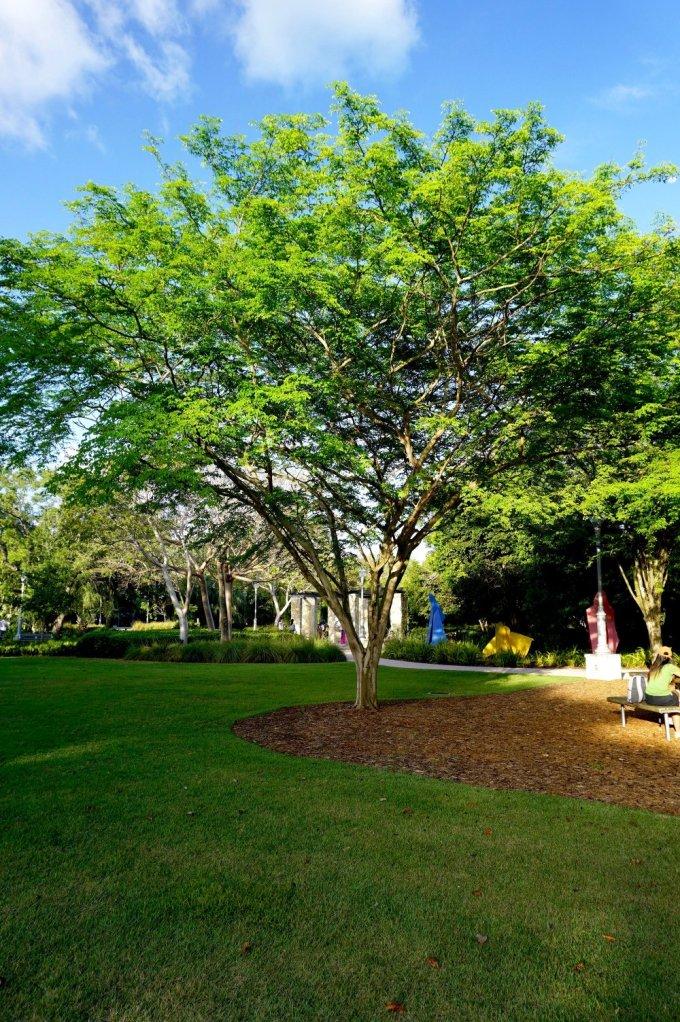 Bridal Veil Caesalpinia granadillo at TreeWorld