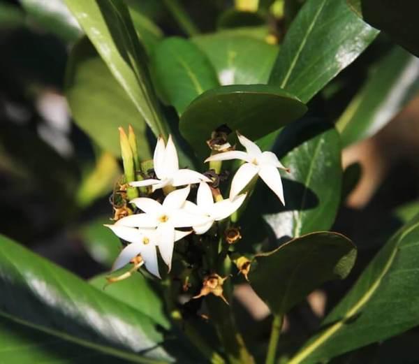 Genipa Clusofolia_flower