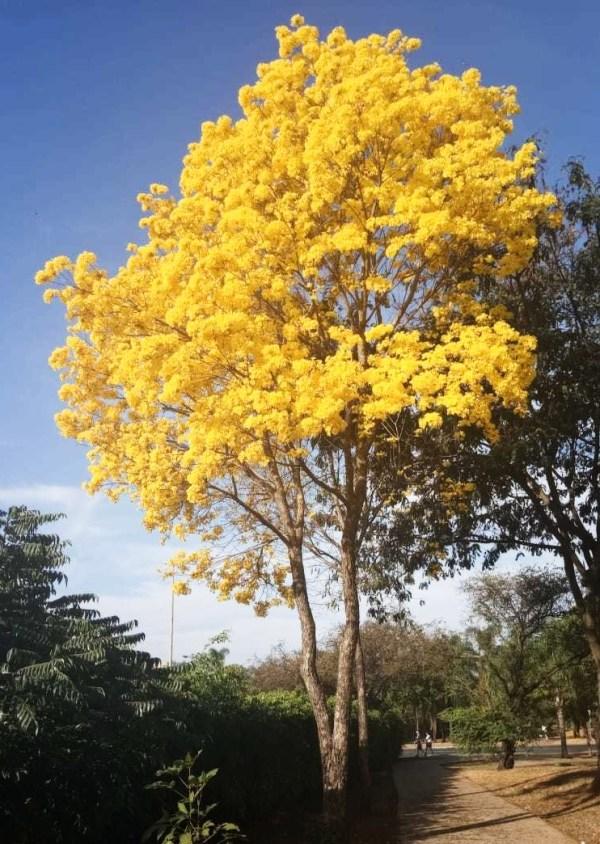 Tabebuia chrysotricha (golden trumpet)