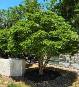 Trees For Urban Planting Guaiacum Sanctum (Florida lignum vitae) Planted planted