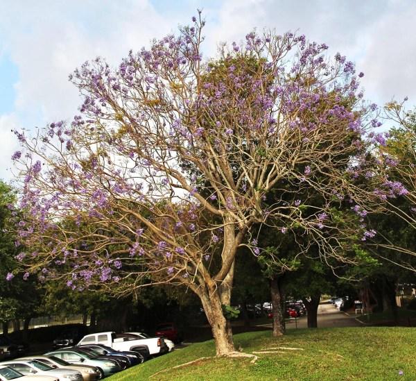 jacaranda mimosifolia jacaranda blue