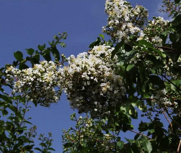 lagerstroemia indica-flowers1