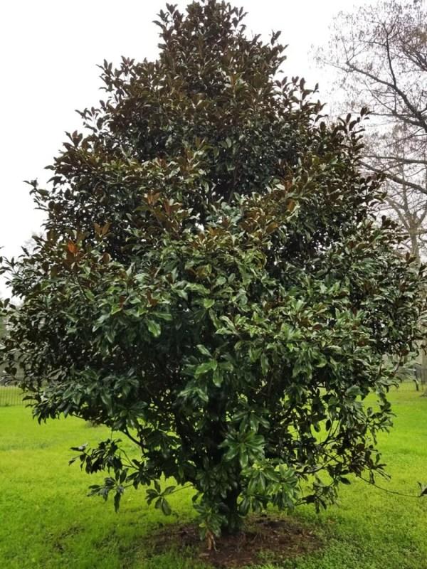 large_magnolia