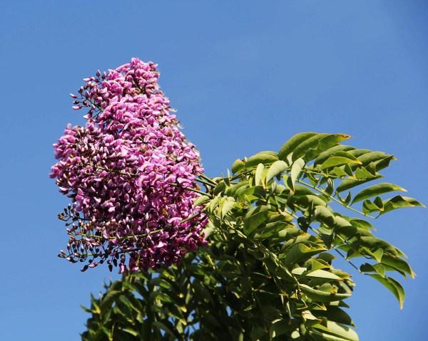 lonchocarpusviolaceus-flower