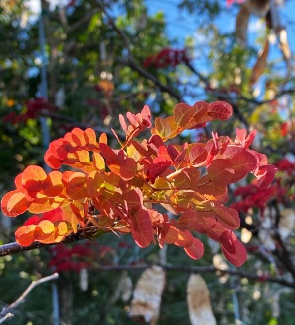 lysolomasabicu-newflush-leaves-flower