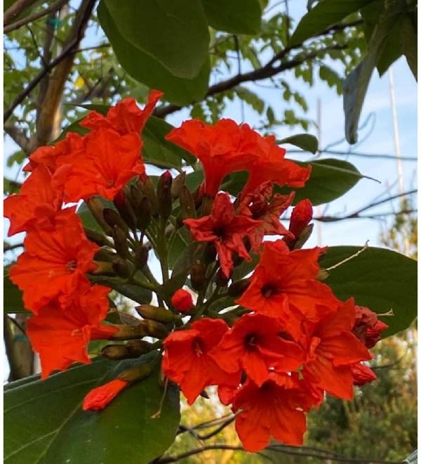Orange Geiger Flower