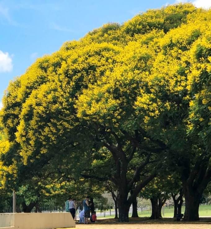 Peltophorum Dubium Specimen