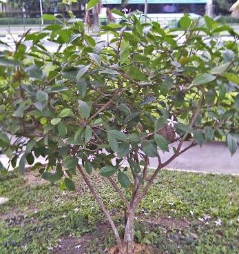 Kopsia Fruticosa (Pink Kopsia)
