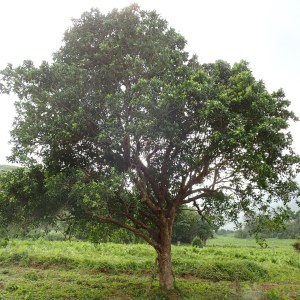 original Syzygium nervosum