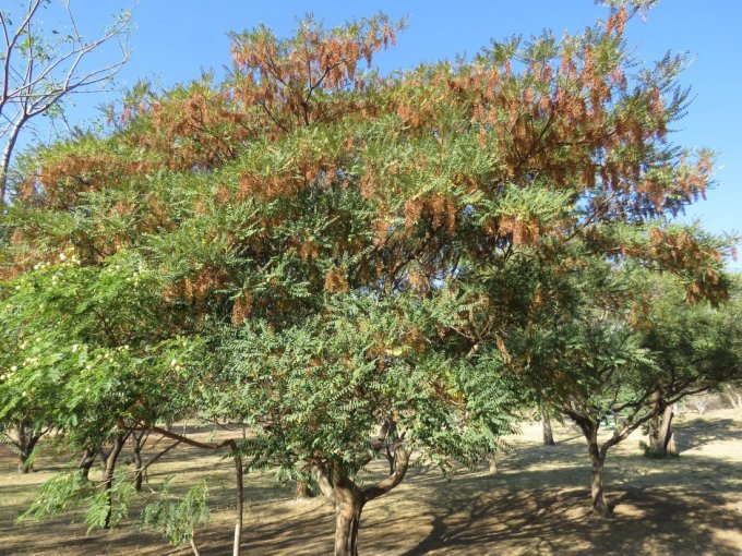 Alvaradoa Amorphoides known as Mexican Alvaradoa at TreeWorld Wholesale