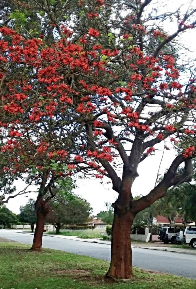 original-erythrina-variegata (1)