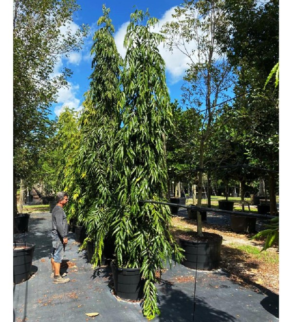 45 gallons polyalthia longifolia - japanese fern tree at TreeWorld Wholesale