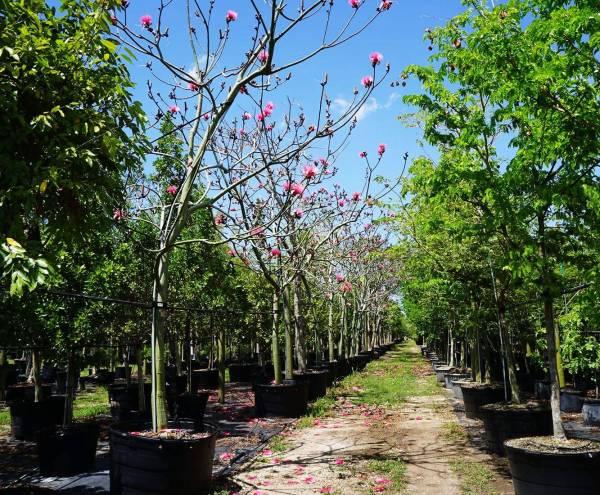 Pseudo Bombax Ellipticum flowering tree row at TreeWorld Wholesale