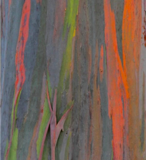 Components Of Trees rainbow eucalyptus trunk