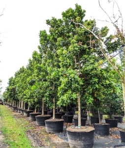 tree pruning 100 gal tree row Pimenta Dioca-Allspice at TreeWorld Wholesale