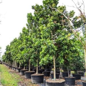 tree pruning 100 gal tree row Pimenta Dioca-Allspice at TreeWorld Wholesale