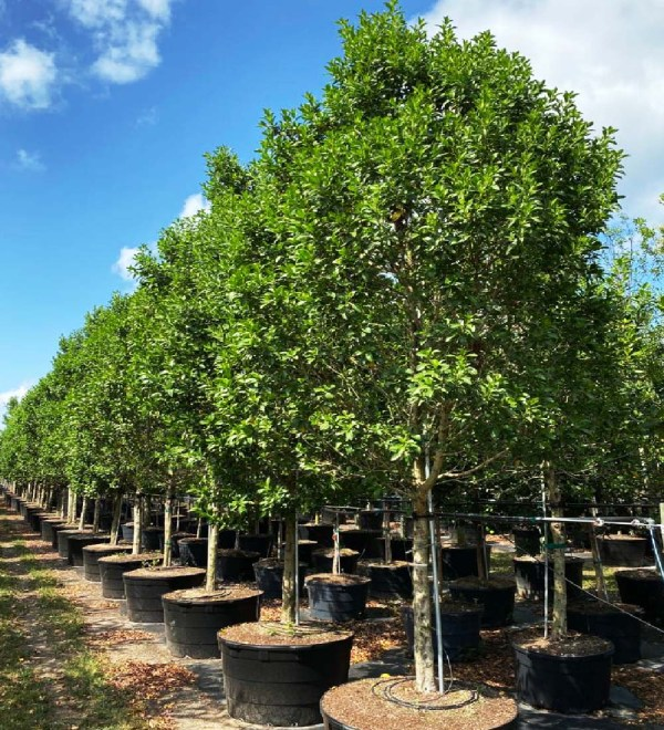 row of 100 gallons Greenbuttonwood at Treeworld Wholesale