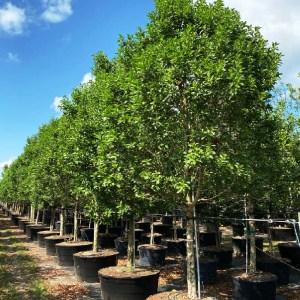 Conocarpus Erectus (Green Buttonwood)