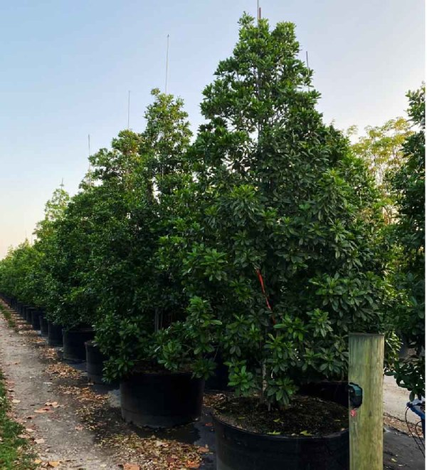 Canella Winterena row of 200 gallons at TreeWorld Wholesale