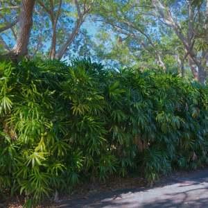 Rhapis excelsa (Lady Palm)