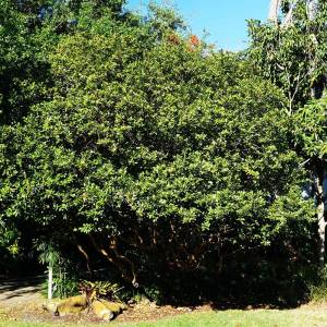 Specimen Psidium Littorale - Cattley Guava
