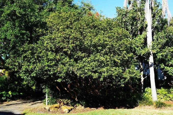 Specimen Psidium Littorale - Cattley Guava