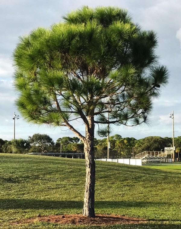specimen-Pinus Elliottii (Slash Pine)