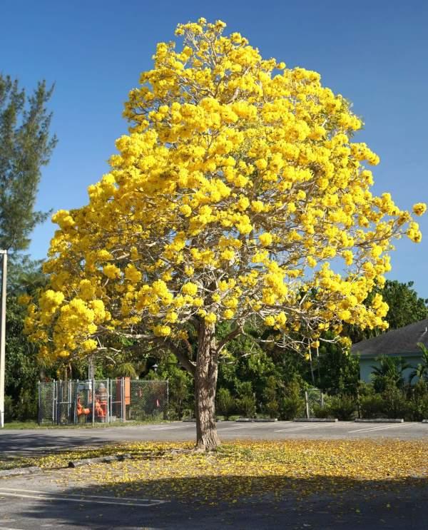 Tabebuia guayacan (Handroanthus guayacan)