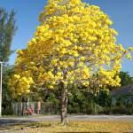 Tabebuia trees guayacan (Handroanthus guayacan)
