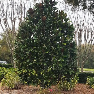 specimen_southern_magnolia
