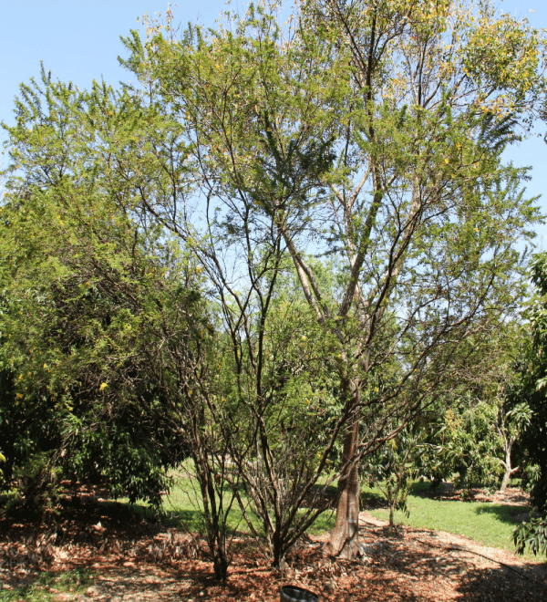 Acacia Farnesian aalso known as Sweet Acacia Specimen at TreeWorld Wholesale
