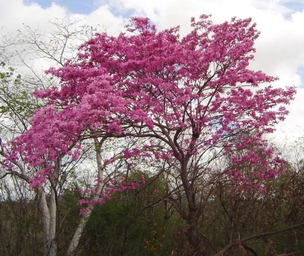 Tabebuia impetiginosa (Pink Ipe)