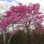 Tabebuia trees impetiginosa (Pink Ipe)