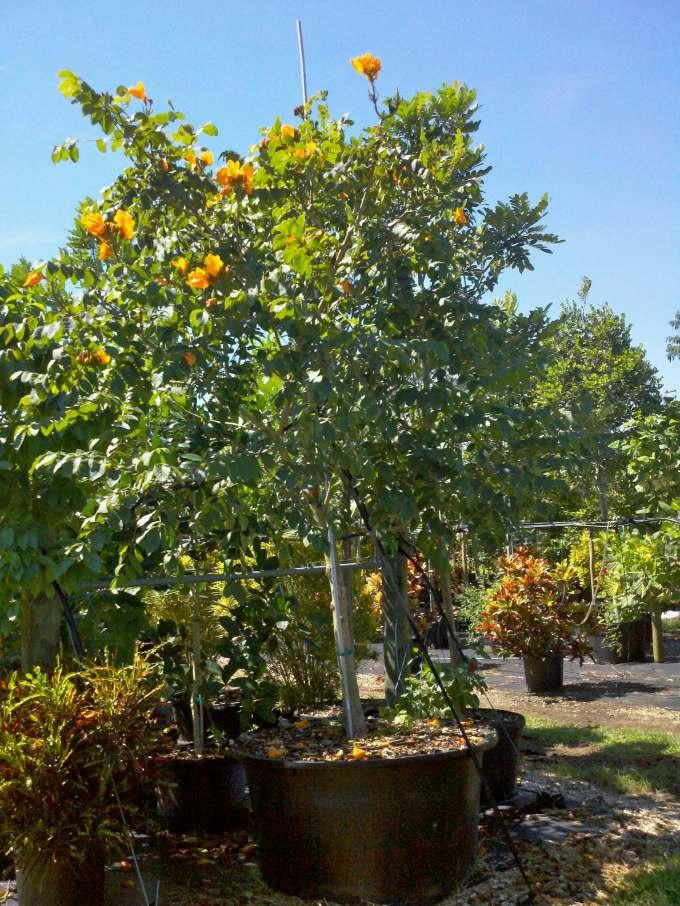 100GALSpathodea campanulata (yellow)AFRICAN TULIP YELLOW 100 GAL B