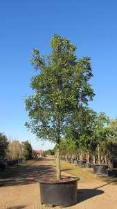 Mahogany trees 200 gal