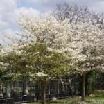 Tabebuia roseoalba (White Ipe)