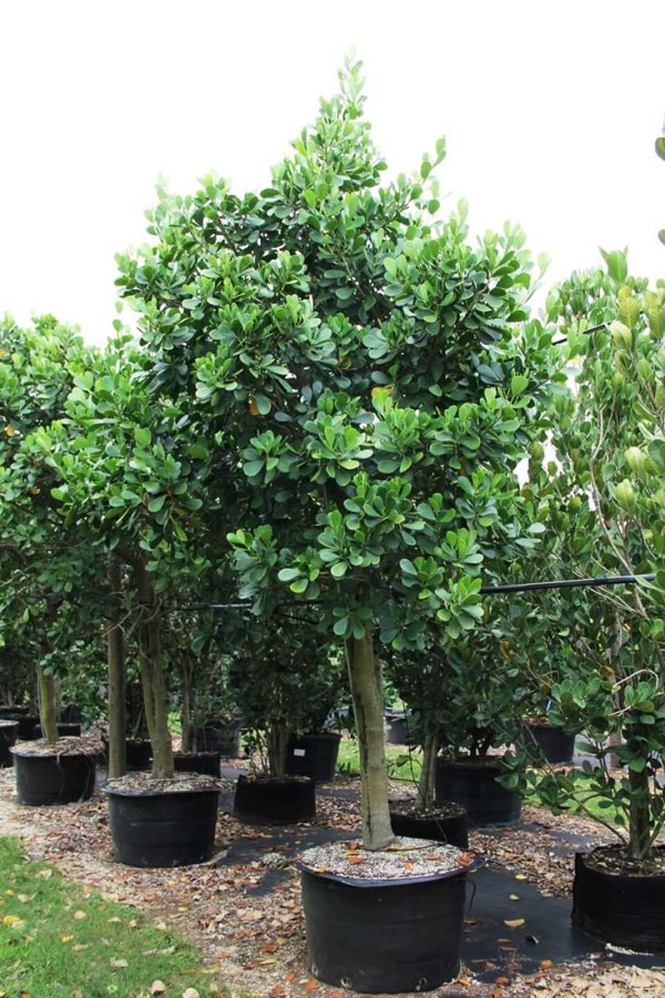 50 gal Clusia Guttifera-Small leaf clusia at TreeWorld Wholesale