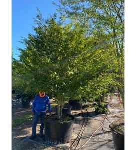 trees are oxygen pimienta dioca (allspice tree)