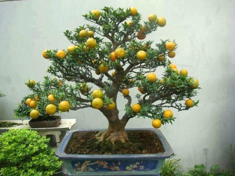 Grow A Bonsai Orange Tree And Will Fruit Miniature Oranges