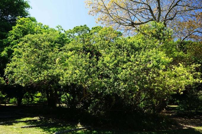 cordia lutea specimen