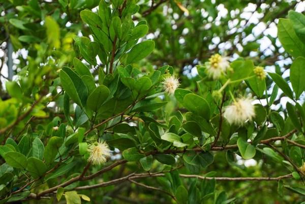Leaf -pithecellobium keyense at TreeWorld Wholesale