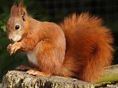 Elogio dello scoiattolo