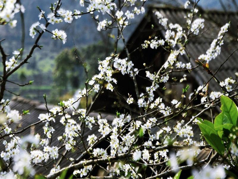 The-picturesque-beauty-of-plum-flowers-which-can-melt-your-heart-at-first-time-seeing1
